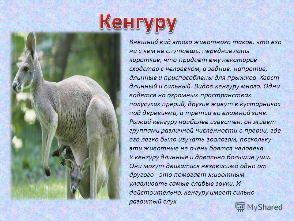 Внешний вид этого животного таков, что его ни с кем не спутаешь: передние лапы короткие, что придает ему некоторое сходство с человеком, а задние, напротив, длинные и приспособлены для прыжков. Хвост длинный и сильный. Видов кенгуру много. Одни водят