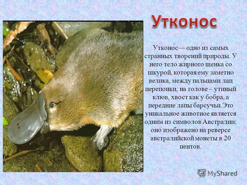 Утконо́с одно из самых странных творений природы. У него тело жирного щенка со шкурой, которая ему заметно велика, между пальцами лап перепонки, на голове – утиный клюв, хвост как у бобра, а передние лапы барсучьи.Это уникальное животное является одн