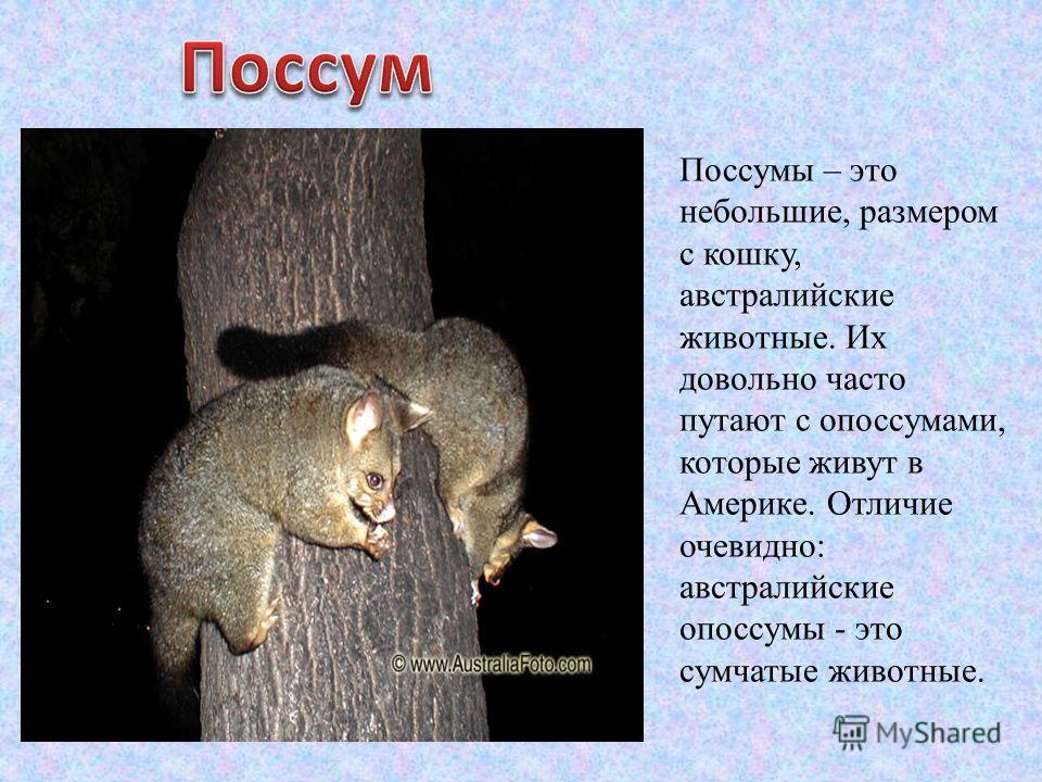 Поссумы – это небольшие, размером с кошку, австралийские животные. Их довольно часто путают с опоссумами, которые живут в Америке. Отличие очевидно: австралийские опоссумы - это сумчатые животные.