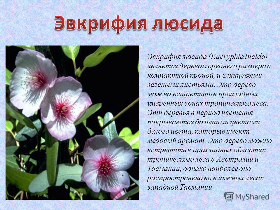 Эвкрифия люсида (Eucryphia lucida) является деревом среднего размера с компактной кроной, и глянцевыми зелеными листьями. Это дерево можно встретить в прохладных умеренных зонах тропического леса. Эти деревья в период цветения покрываются большими цв