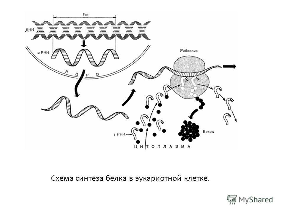 Схема синтеза белка в эукариотной клетке.