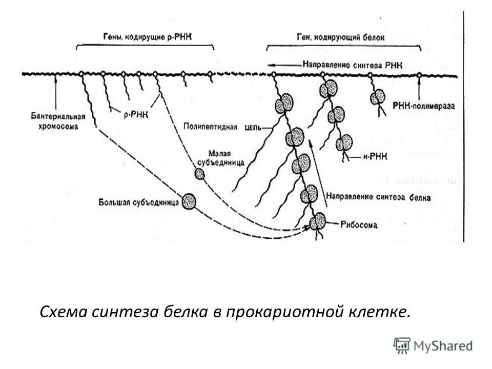 Схема синтеза белка в прокариотной клетке.