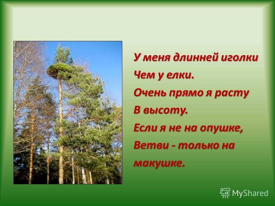 У меня длинней иголки Чем у елки. Очень прямо я расту В высоту. Если я не на опушке, Ветви - только на макушке.