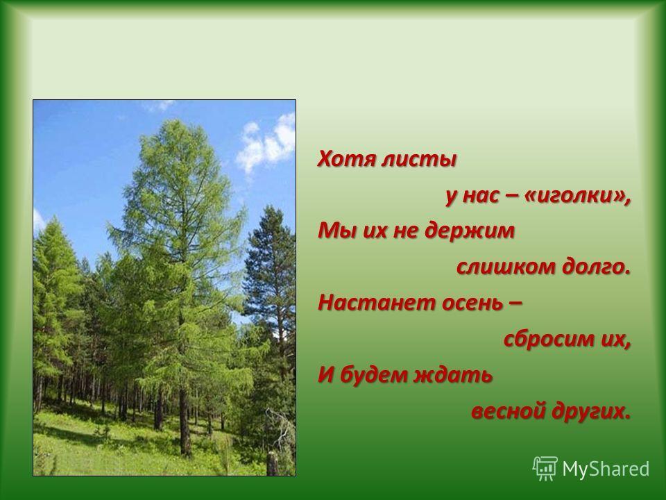 Хотя листы у нас – «иголки», Мы их не держим слишком долго. Настанет осень – сбросим их, И будем ждать весной других.