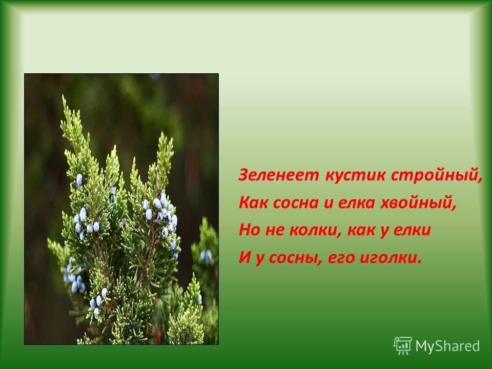 Зеленеет кустик стройный, Как сосна и елка хвойный, Но не колки, как у елки И у сосны, его иголки.