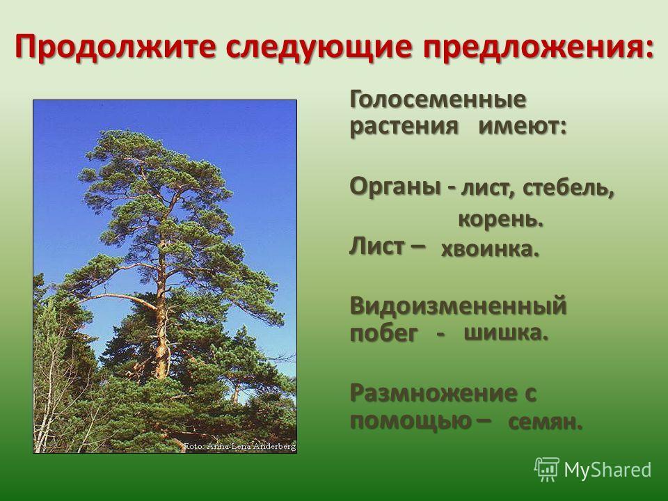 Продолжите следующие предложения: Голосеменные растения имеют: Органы - Лист – Видоизмененный побег - Размножение с помощью – лист, стебель, корень. хвоинка. семян. шишка.