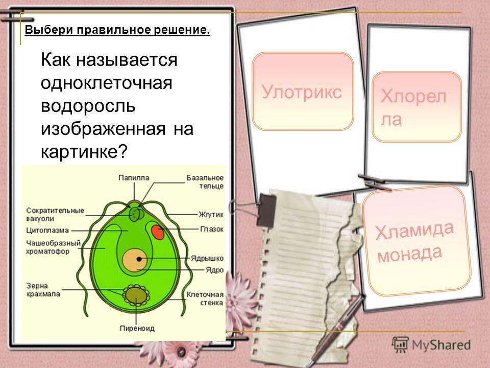 Как называется одноклеточная водоросль изображенная на картинке? Хламида монада Хлорел ла Выбери правильное решение. Улотрикс
