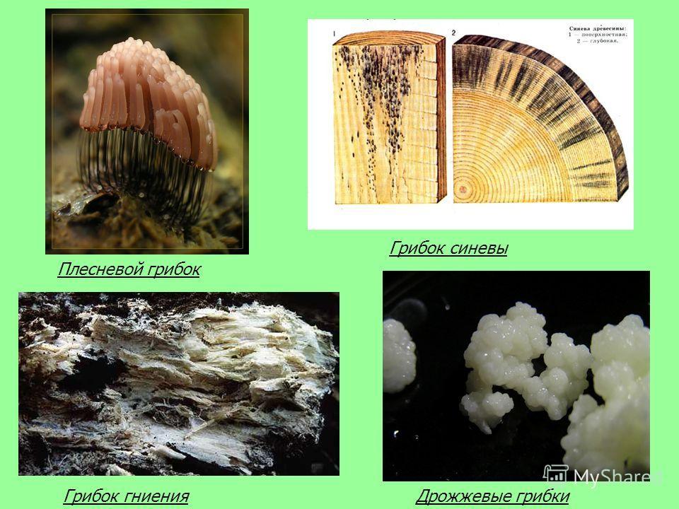 Плесневой грибок Грибок синевы Грибок гниенияДрожжевые грибки