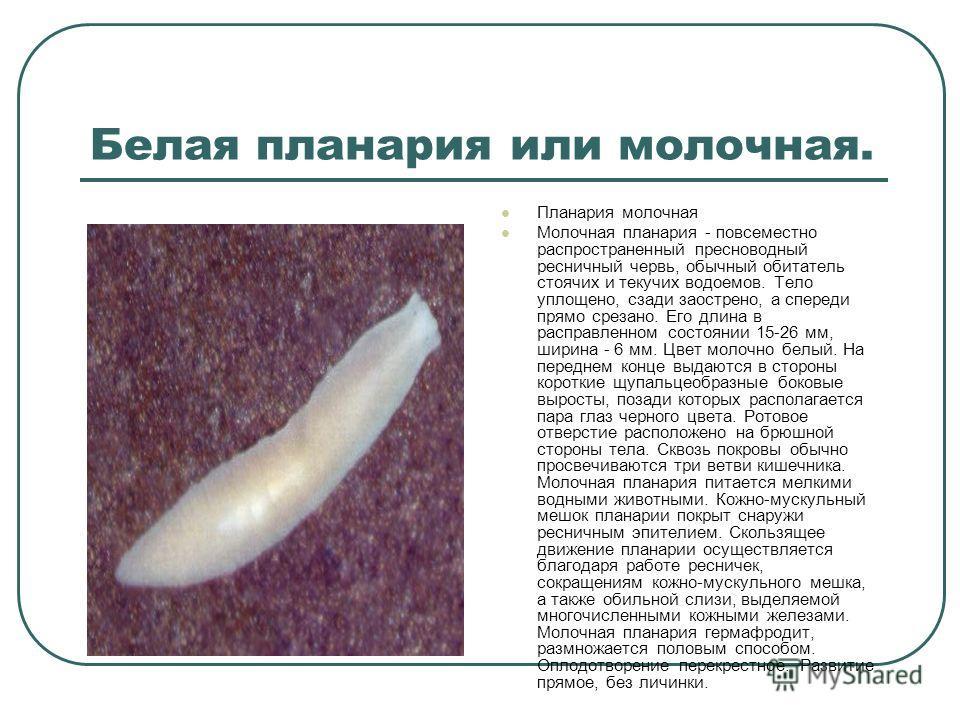 Белая планария или молочная. Планария молочная Молочная планария - повсеместно распространенный пресноводный ресничный червь, обычный обитатель стоячих и текучих водоемов. Тело уплощено, сзади заострено, а спереди прямо срезано. Его длина в расправле