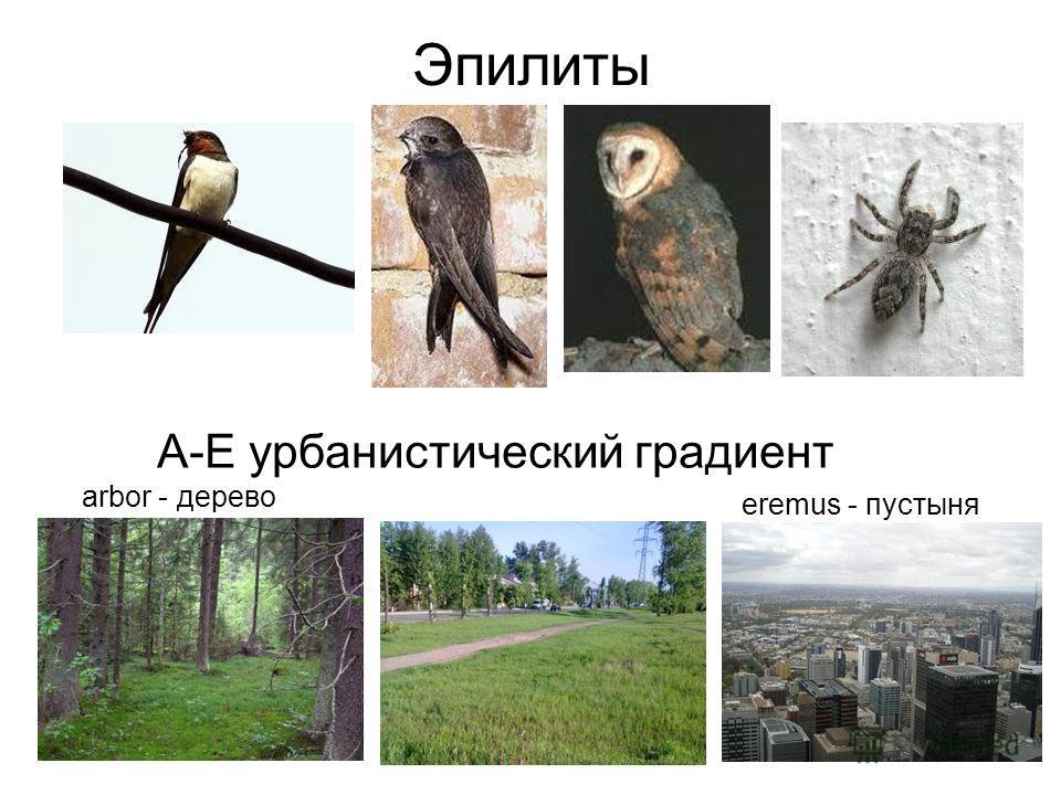 Эпилиты eremus - пустыня А-Е урбанистический градиент arbor - дерево