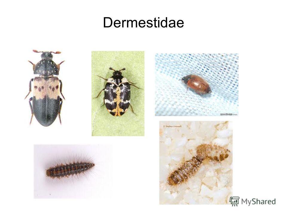 Dermestidae