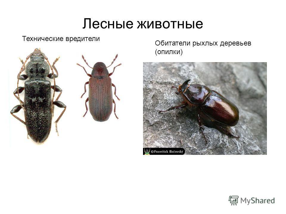 Лесные животные Технические вредители Обитатели рыхлых деревьев (опилки)