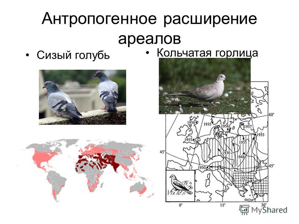 Антропогенное расширение ареалов Сизый голубь Кольчатая горлица