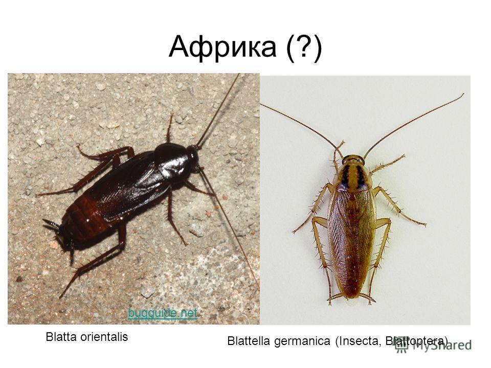 Африка (?) Blattella germanica (Insecta, Blattoptera) Blatta orientalis bugguide.net