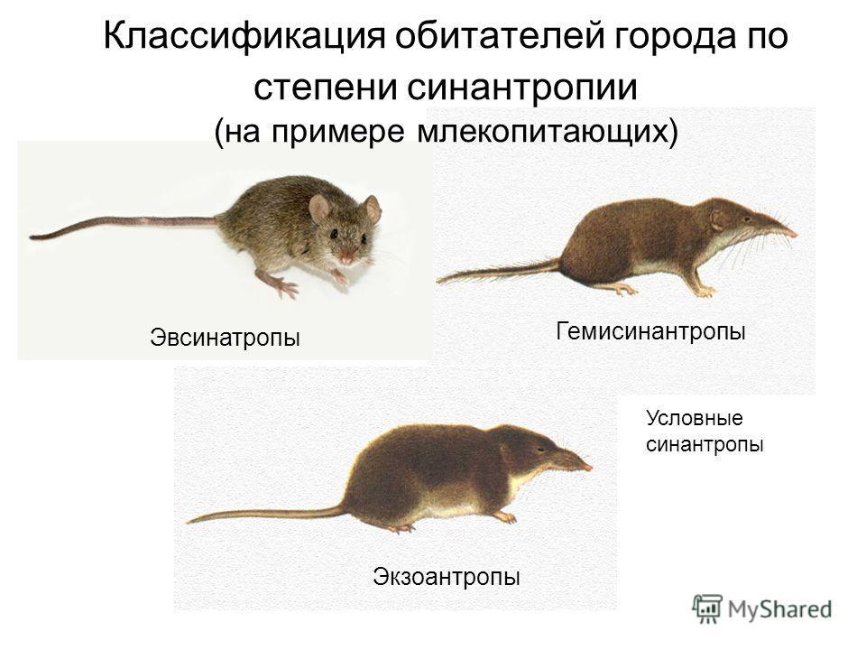 Классификация обитателей города по степени синантропии (на примере млекопитающих) Эвсинатропы Гемисинантропы Экзоантропы Условные синантропы