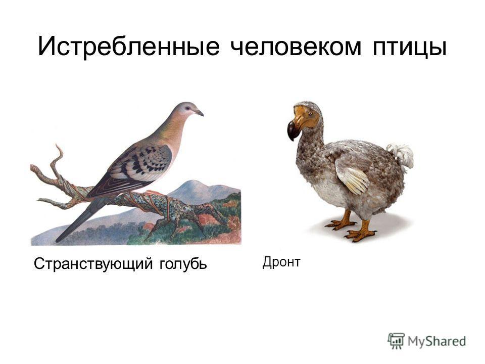 Истребленные человеком птицы Странствующий голубь Дронт