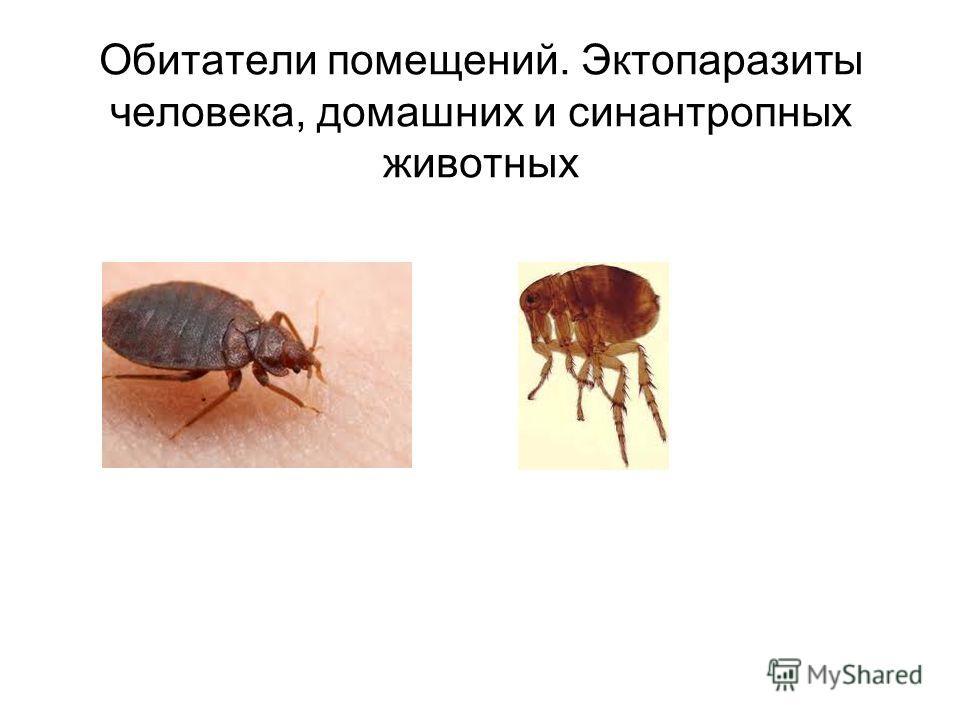 Обитатели помещений. Эктопаразиты человека, домашних и синантропных животных