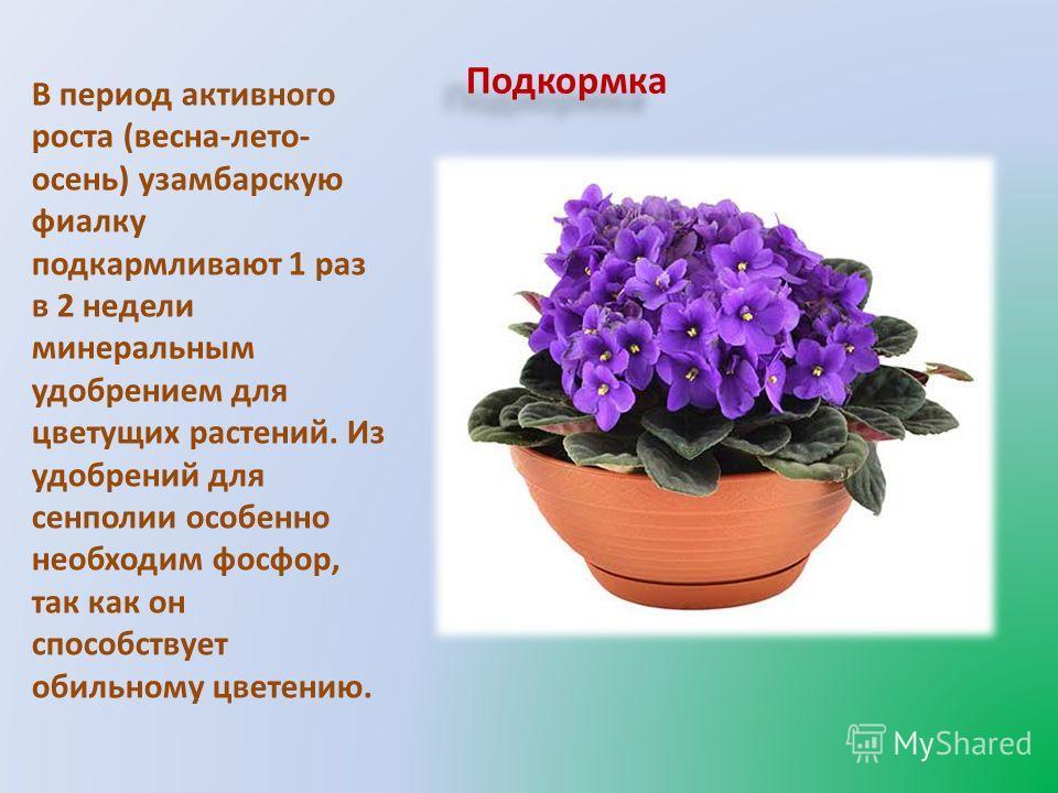 Подкормка фиалки для цветения в домашних условиях