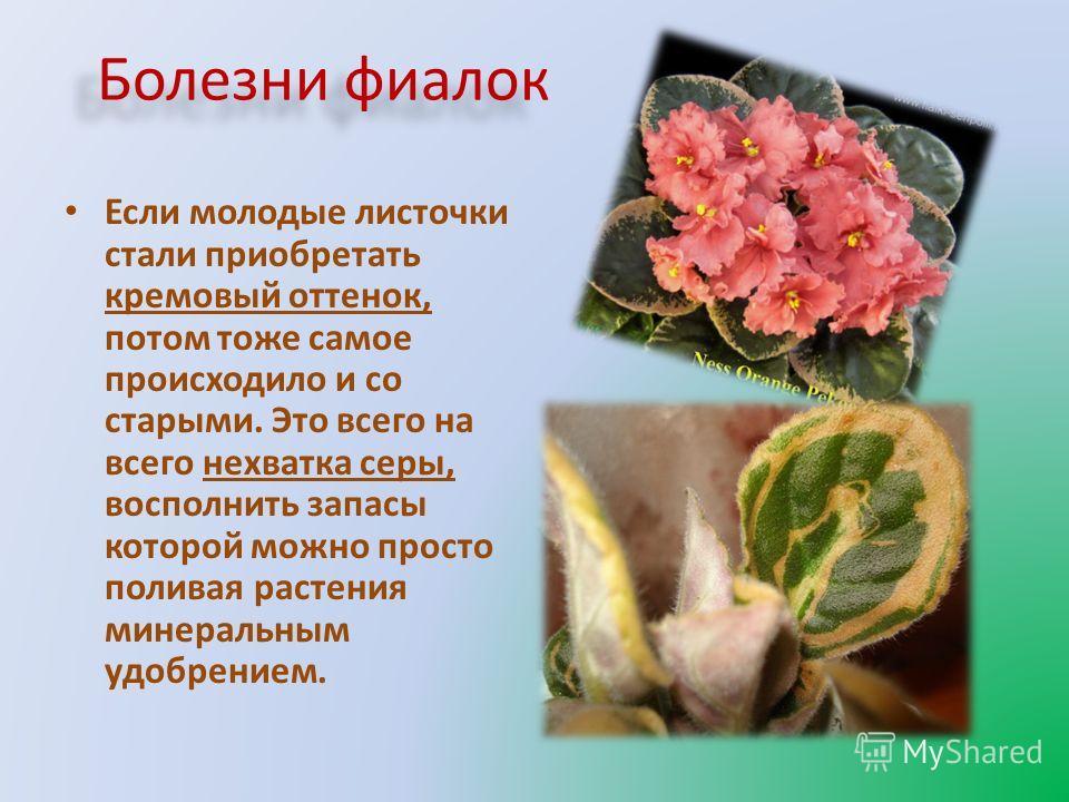 Болезни фиалок Если молодые листочки стали приобретать кремовый оттенок, потом тоже самое происходило и со старыми. Это всего на всего нехватка серы, восполнить запасы которой можно просто поливая растения минеральным удобрением.