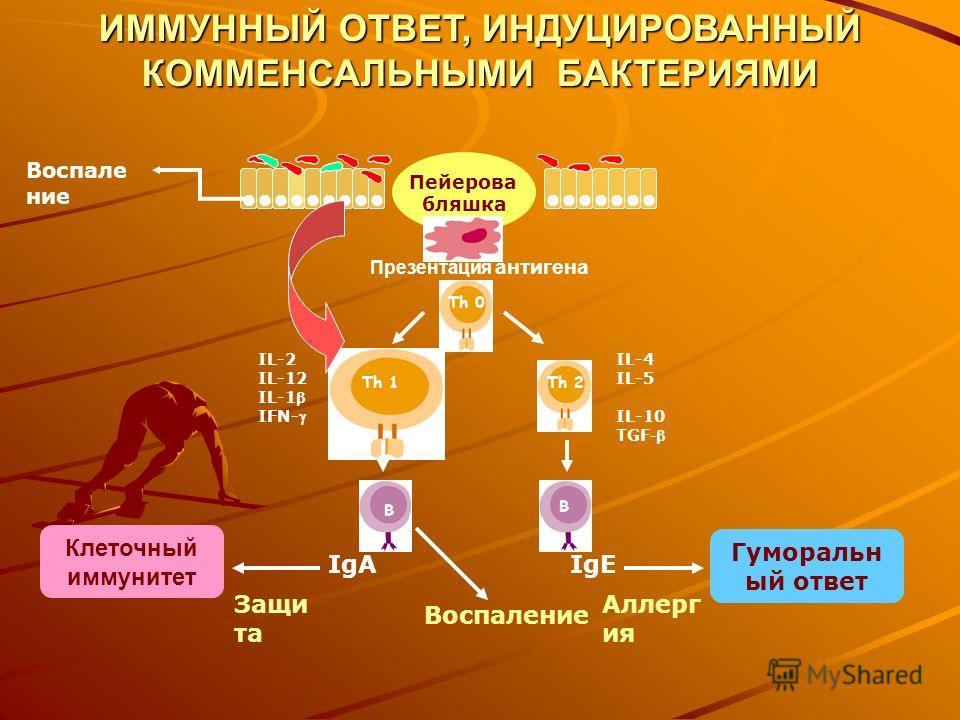 Пейерова бляшка Th 0 Th 1 Th 2 B B Презентация антигена IL-4 IL-5 IL-10 TGF - IL-2 IL-12 IL-1 IFN- IgEIgA Гуморальн ый ответ Клеточный иммунитет Аллерг ия Защи та Воспале ние ИММУННЫЙ ОТВЕТ, ИНДУЦИРОВАННЫЙ КОММЕНСАЛЬНЫМИ БАКТЕРИЯМИ