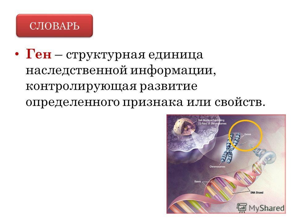 Ген – структурная единица наследственной информации, контролирующая развитие определенного признака или свойств. СЛОВАРЬ