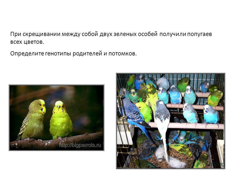 При скрещивании между собой двух зеленых особей получили попугаев всех цветов. Определите генотипы родителей и потомков.