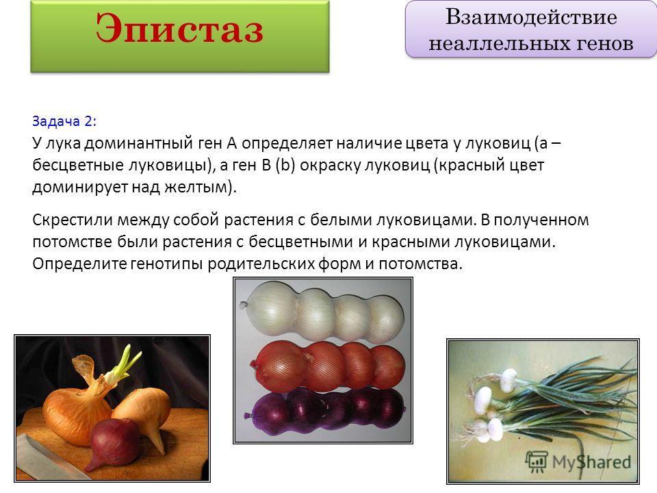 Задача 2: У лука доминантный ген А определяет наличие цвета у луковиц (а – бесцветные луковицы), а ген В (b) окраску луковиц (красный цвет доминирует над желтым). Скрестили между собой растения с белыми луковицами. В полученном потомстве были растени