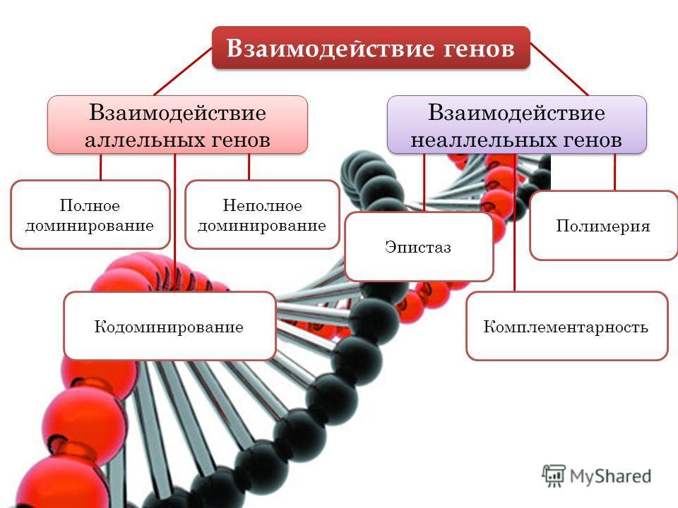 Взаимодействие генов Взаимодействие аллельных генов Взаимодействие неаллельных генов Полное доминирование Неполное доминирование Полимерия КомплементарностьКодоминирование Эпистаз