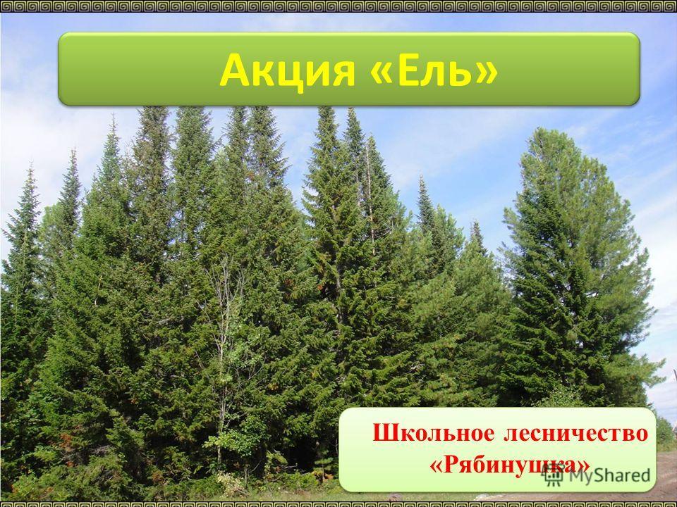 Акция «Ель» Школьное лесничество «Рябинушка»