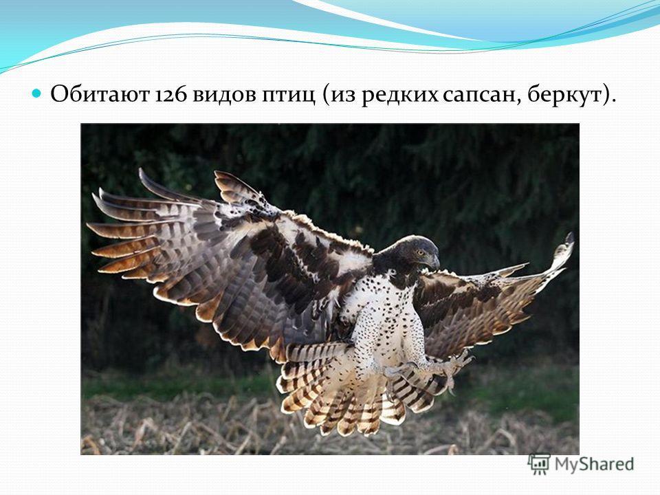 Обитают 126 видов птиц (из редких сапсан, беркут).