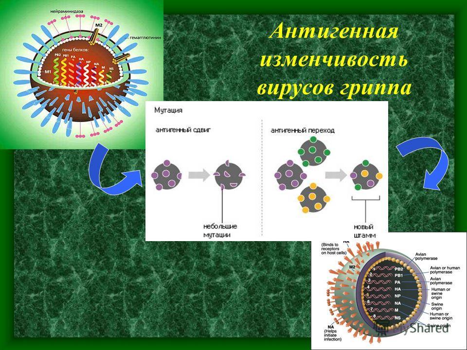 Антигенная изменчивость вирусов гриппа