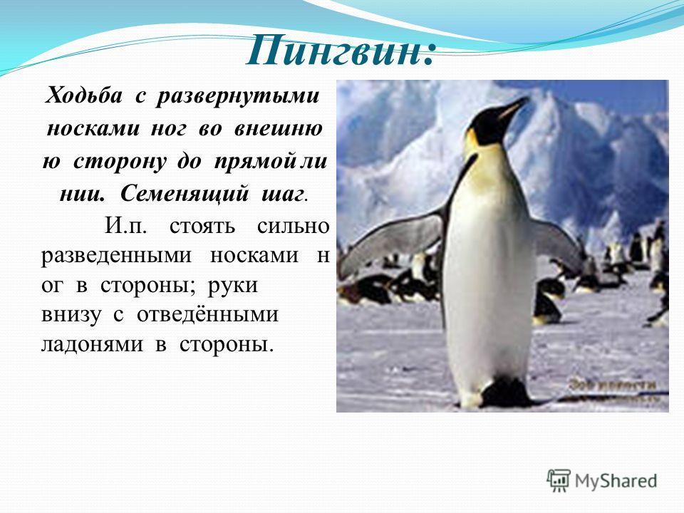 Пингвин: Ходьба с развернутыми носками ног во внешню ю сторону до прямой ли нии. Семенящий шаг. И.п. стоять сильно разведенными носками н ог в стороны; руки внизу с отведёнными ладонями в стороны.