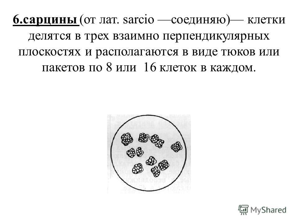 6.сарцины (от лат. sarcio соединяю) клетки делятся в трех взаимно перпендикулярных плоскостях и располагаются в виде тюков или пакетов по 8 или 16 клеток в каждом.
