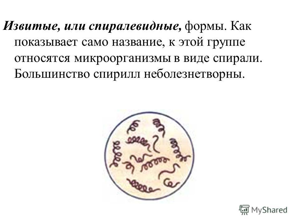 Извитые, или спиралевидные, формы. Как показывает само название, к этой группе относятся микроорганизмы в виде спирали. Большинство спирилл неболезнетворны.