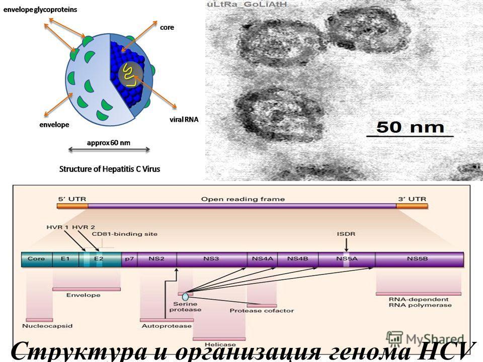 Структура вируса гепатита D
