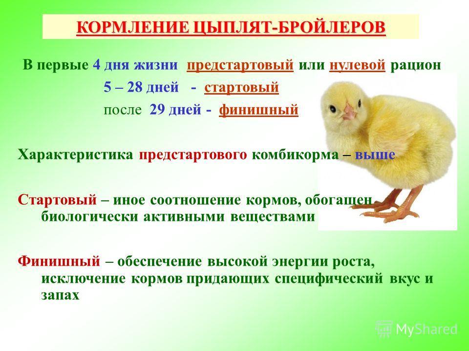 Цыплята в домашних условиях кормление