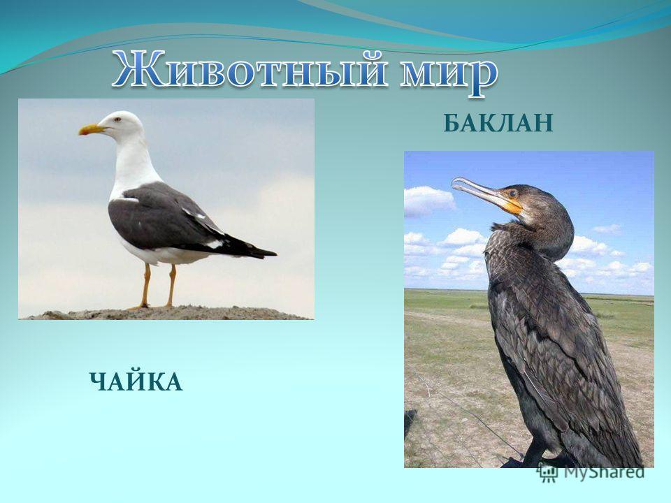 ЧАЙКА БАКЛАН