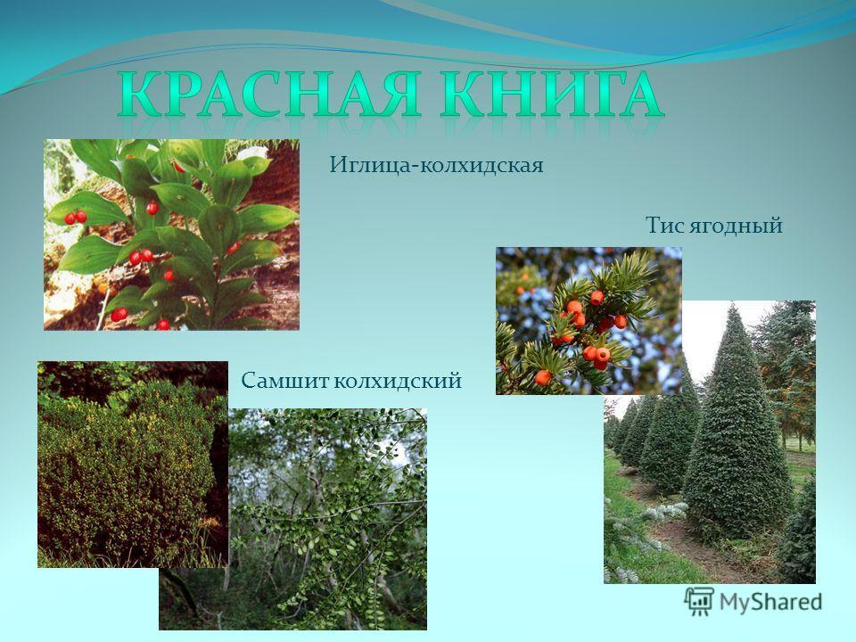 Иглица-колхидская Тис ягодный Самшит колхидский