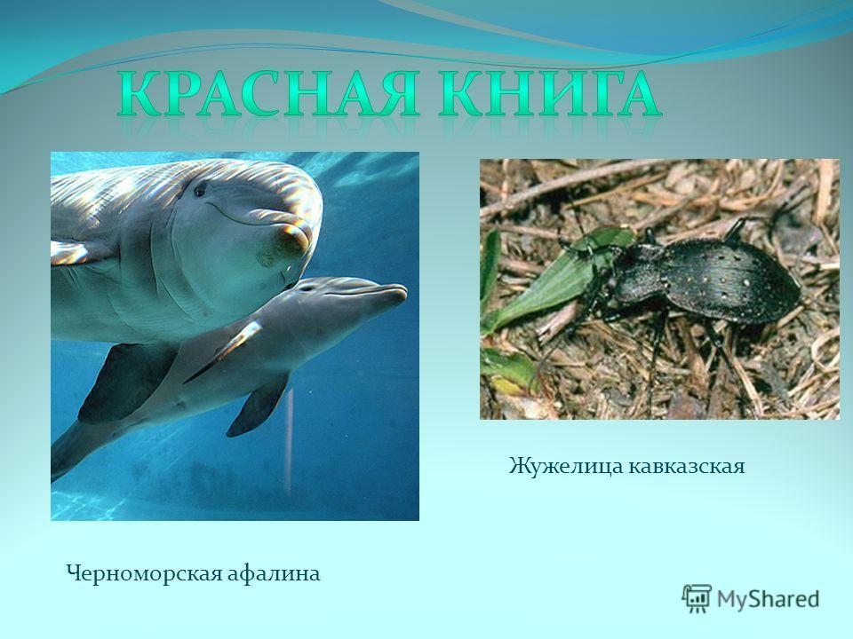 Черноморская афалина Жужелица кавказская
