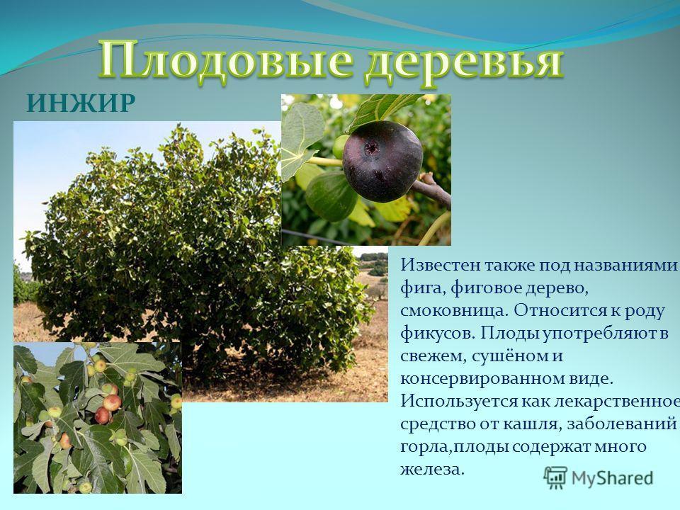 ИНЖИР Известен также под названиями фига, фиговое дерево, смоковница. Относится к роду фикусов. Плоды употребляют в свежем, сушёном и консервированном виде. Используется как лекарственное средство от кашля, заболеваний горла,плоды содержат много желе
