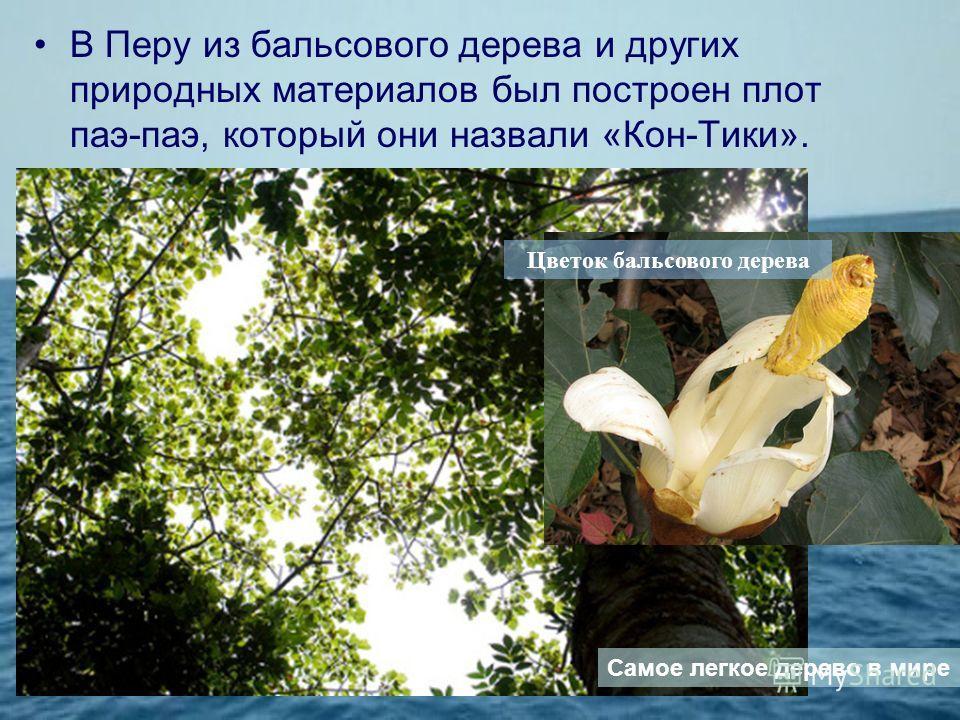 В Перу из бальсового дерева и других природных материалов был построен плот паэ-паэ, который они назвали «Кон-Тики». Цветок бальсового дерева Самое легкое дерево в мире