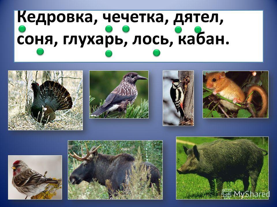 Кедровка, чечетка, дятел, соня, глухарь, лось, кабан.