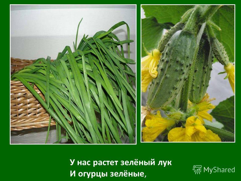 У нас растет зелёный лук И огурцы зелёные,