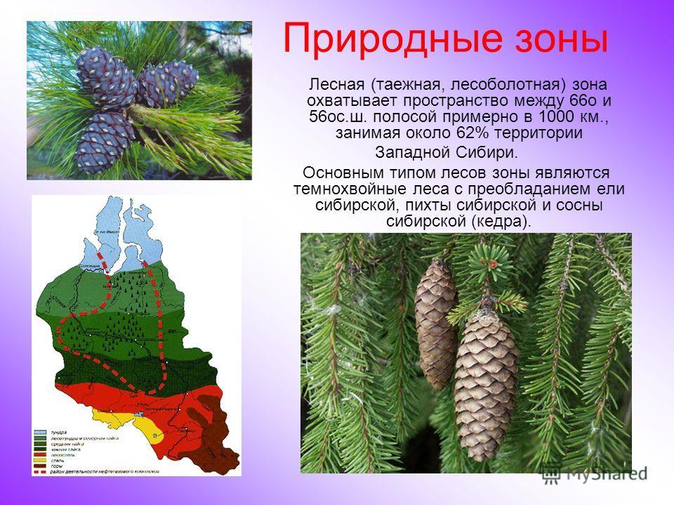 Природные зоны Лесная (таежная, лесоболотная) зона охватывает пространство между 66o и 56oс.ш. полосой примерно в 1000 км., занимая около 62% территории Западной Сибири. Основным типом лесов зоны являются темнохвойные леса с преобладанием ели сибирск