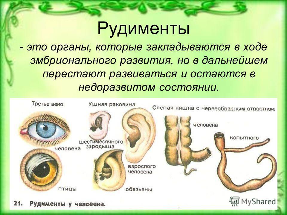 Рудименты - это органы, которые закладываются в ходе эмбрионального развития, но в дальнейшем перестают развиваться и остаются в недоразвитом состоянии.