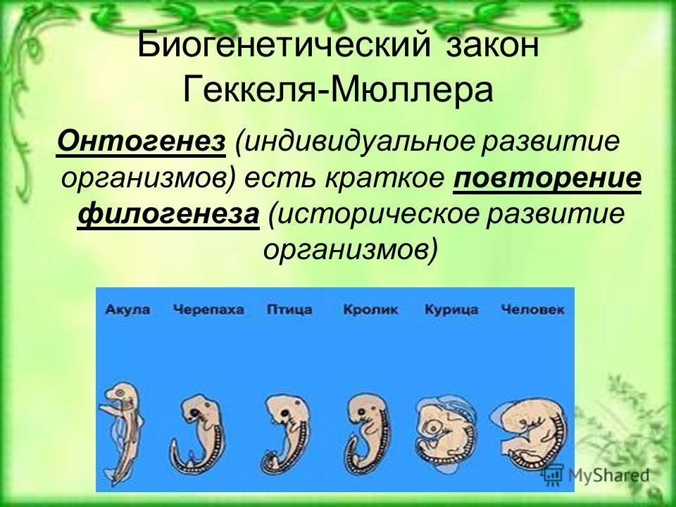 Биогенетический закон Геккеля-Мюллера Онтогенез (индивидуальное развитие организмов) есть краткое повторение филогенеза (историческое развитие организмов)