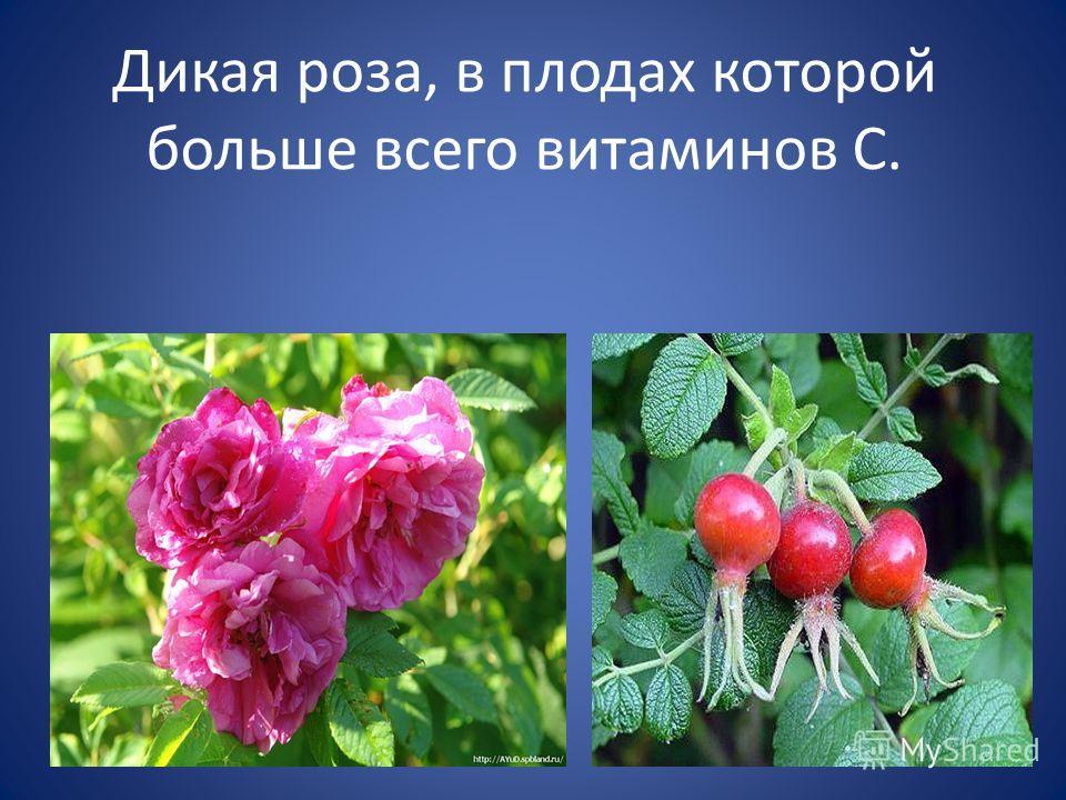Дикая роза, в плодах которой больше всего витаминов С.