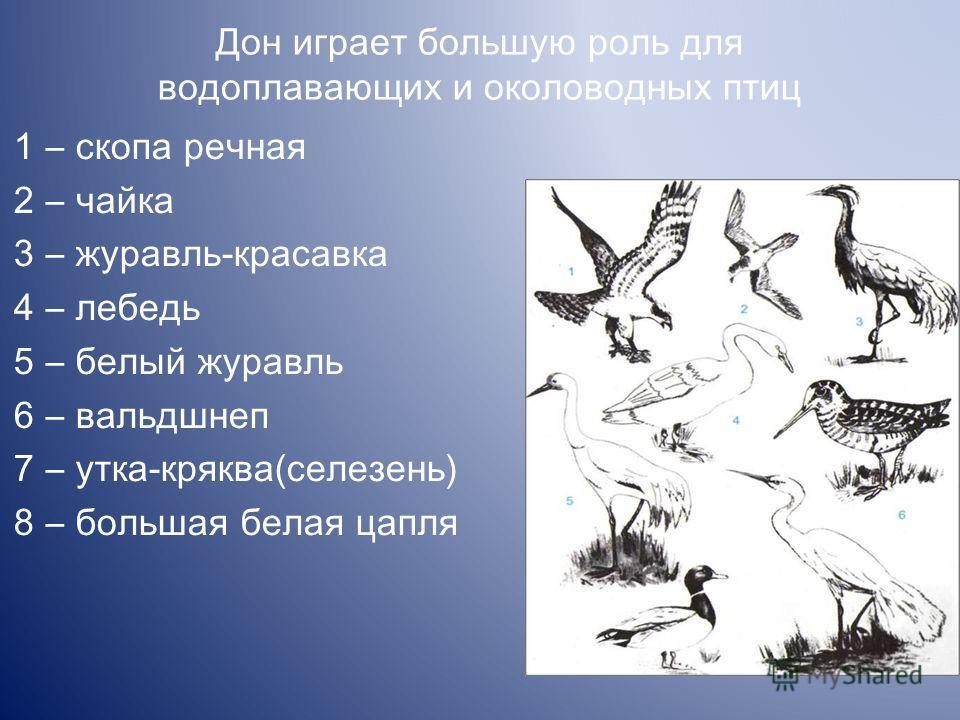 Дон играет большую роль для водоплавающих и околоводных птиц 1 скопа речная 2 чайка 3 журавль-красавка 4 лебедь 5 белый журавль 6 вальдшнеп 7 утка-кряква(селезень) 8 большая белая цапля