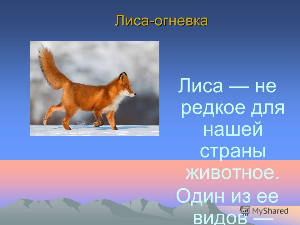 Лиса-огневка Лиса не редкое для нашей страны животное. Один из ее видов лиса- огневка, проживает и на Камчатке. Название свое эта лисица получила за яркую огненно- рыжую окраску. Длина тела взрослой лисы составляет 75 см, вес – 5 кг.