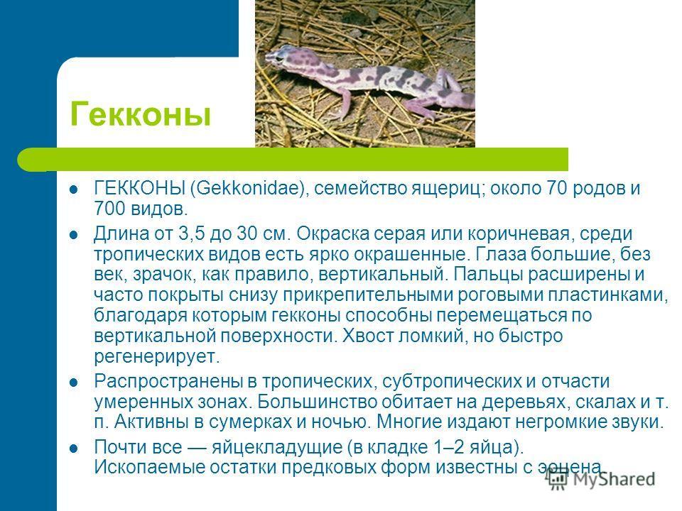 Гекконы ГЕККОНЫ (Gekkonidae), семейство ящериц; около 70 родов и 700 видов. Длина от 3,5 до 30 см. Окраска серая или коричневая, среди тропических видов есть ярко окрашенные. Глаза большие, без век, зрачок, как правило, вертикальный. Пальцы расширены